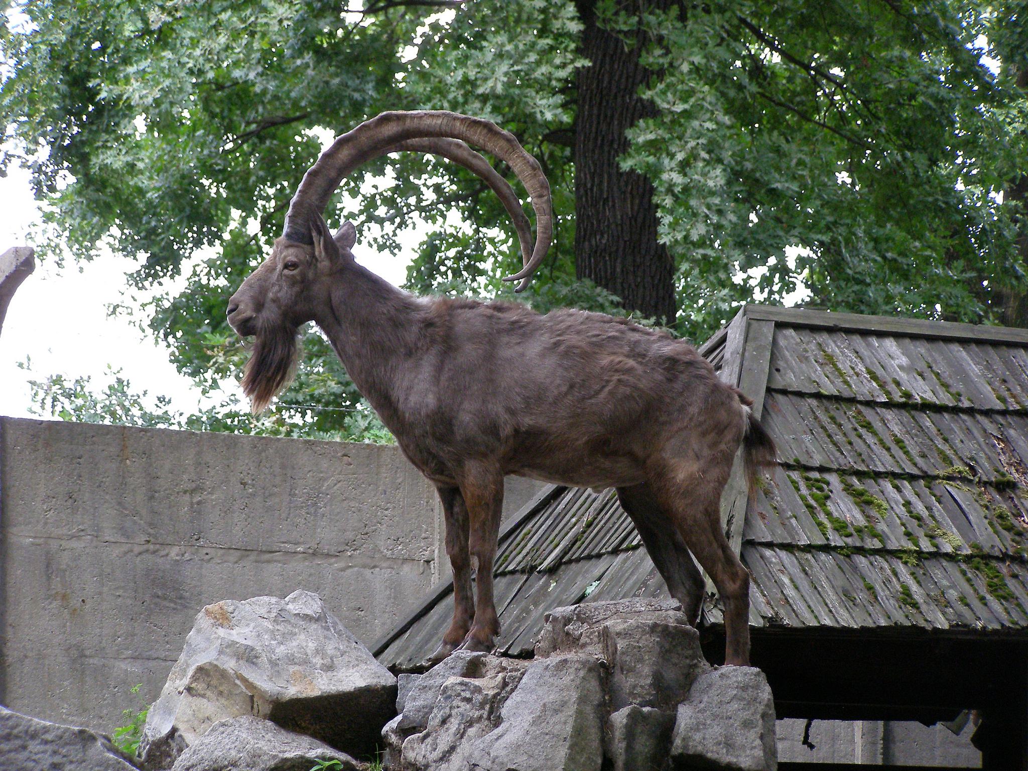 Вроцлавский зоопарк, сибирский горный козел