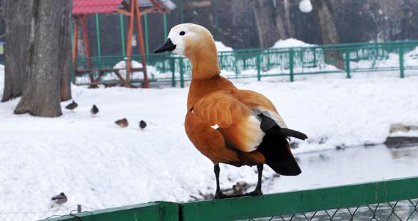 Огарь, Алма-Атинский зоопарк