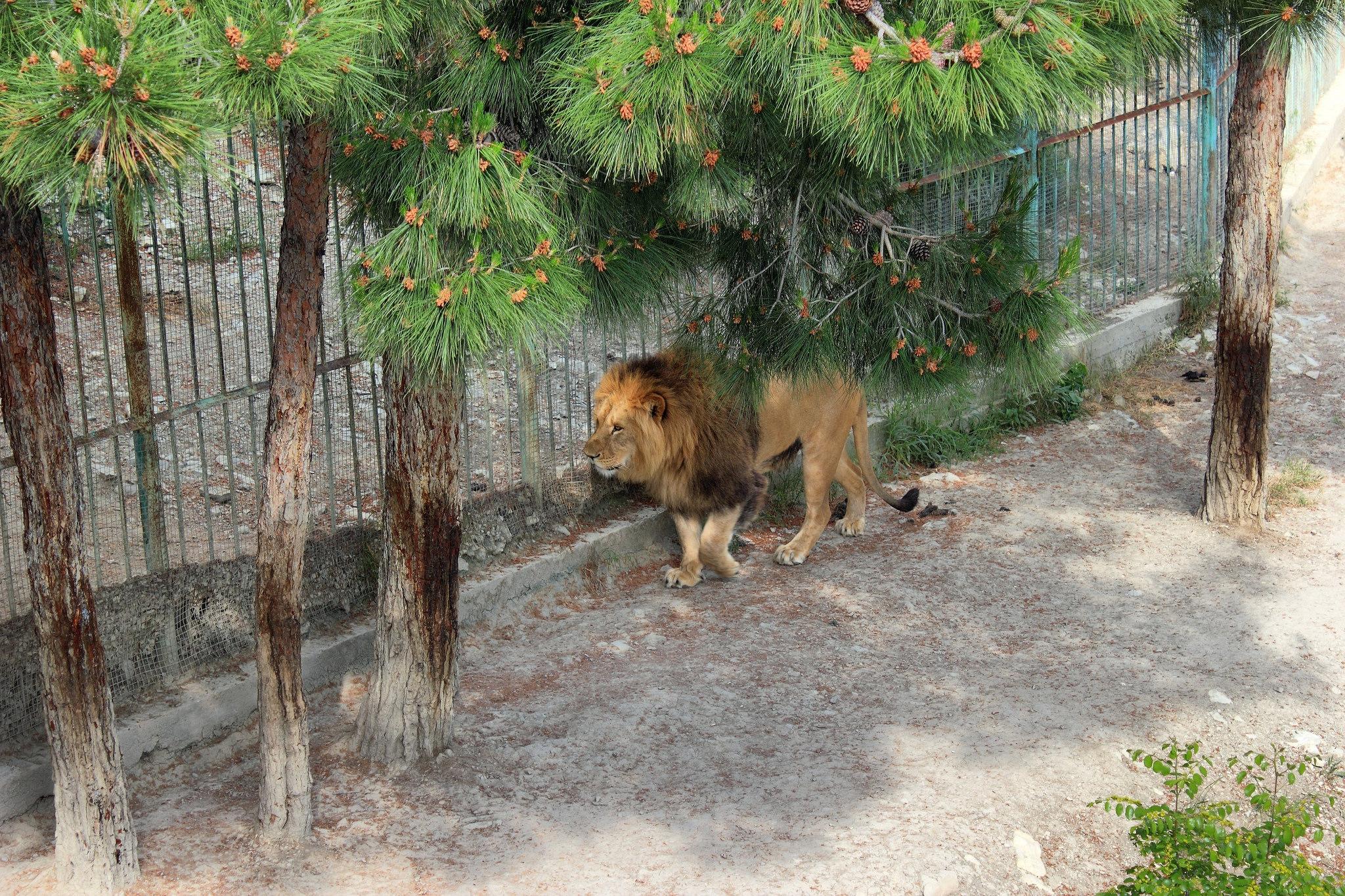 Лев, Сафари-парк в Геленджике