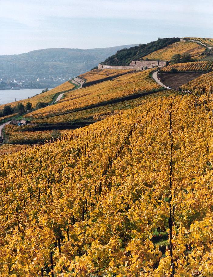 Золотые виноградники Гессена.jpg