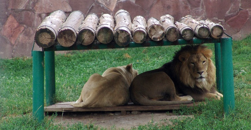 Львы, Алма-Атинский зоопарк