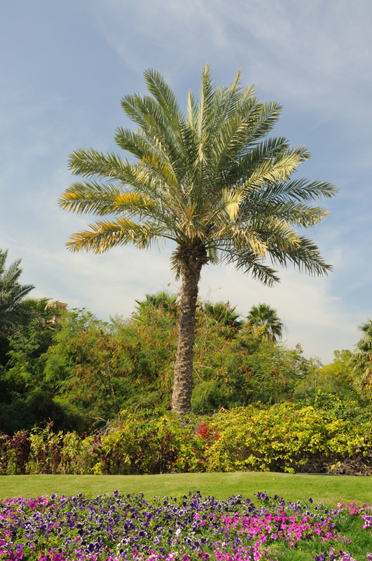 Пальмовое дерево, Дубай, ОАЭ.jpg