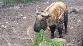 Редчайшее высокогорное парнокопытное такин - национальный символ Бутана