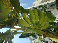 на территории растут бананы