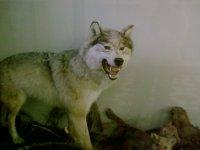 Оскал волчицы.