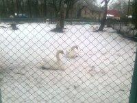 лебеди с минизоопарка