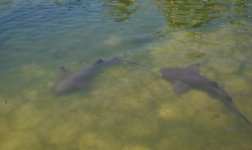 Акулы в пруду