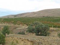 Вокруг села, вдоль всей трассы тянутся виноградники.