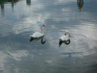 Белые лебеди на Белом пруду
