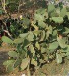 Огромный куст из кактусов