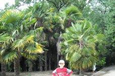 Вот такие пальмы в Гурзуфе.