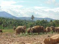 Слоновый питомник в Канди