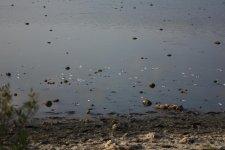 Причина вечернего неприятного запаха - мертвая рыба