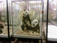 Панды в бамбуковых зарослях.