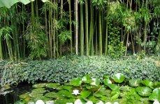 Бамбуковая роща и кувшинки в Никитском ботаническом саду.