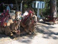 Верблюды около кафе - можно сфотографироваться или покататься