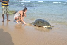 черепахи в Хиккадуве