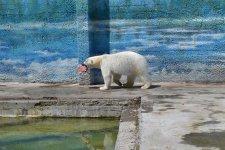 Белый медведь по кличке Комета