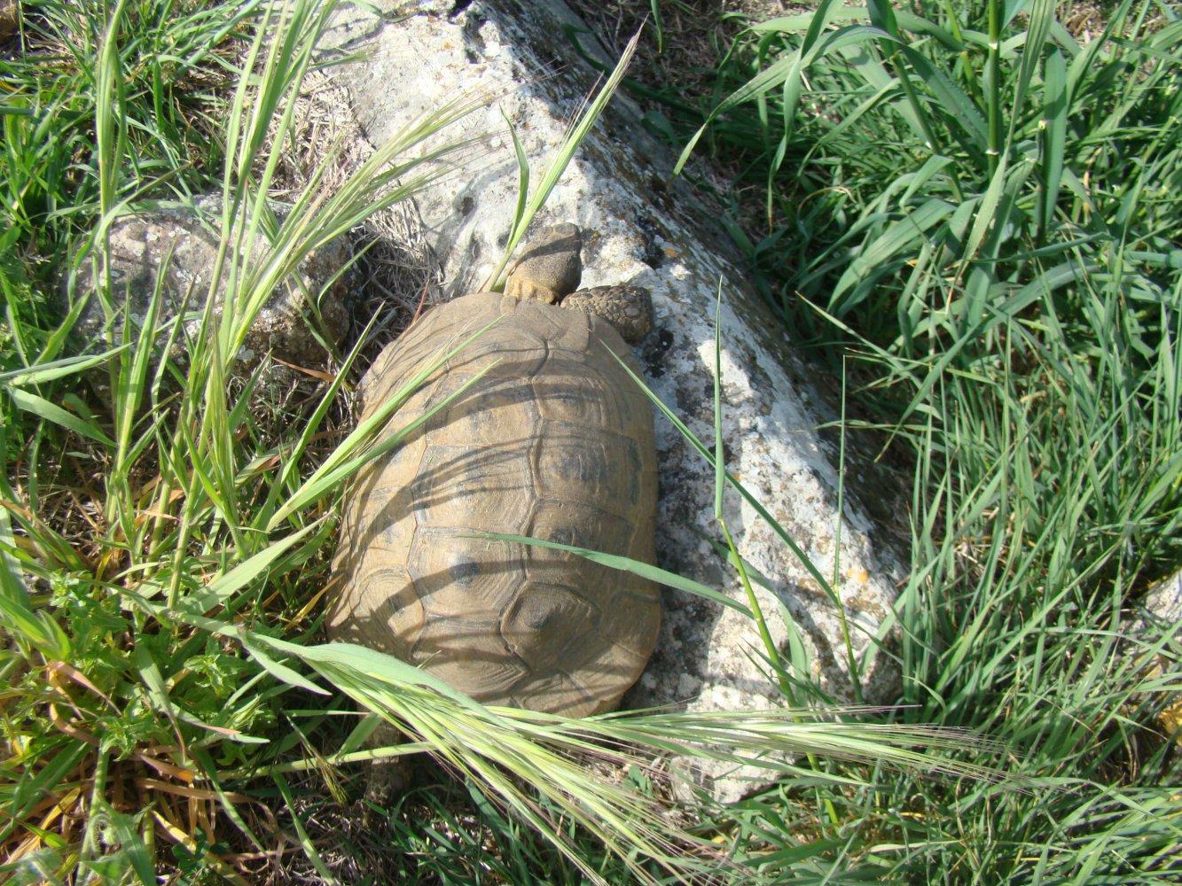Нашли большую черепаху