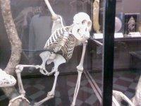 Скелет шимпанзе.