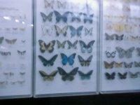 Витрина бабочек.