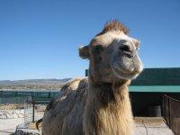 Губы у верблюда - мягкий плюш.