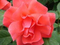 Роза в Малореченском