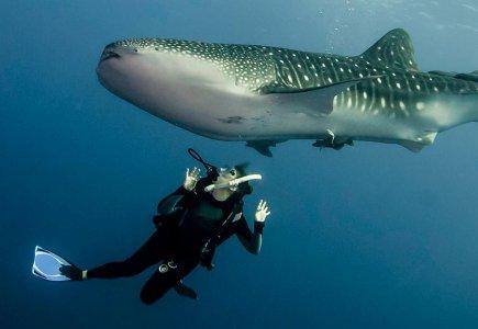 Поплавайте с китовой акулой в Мексике!