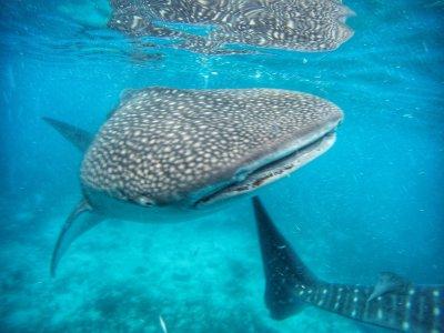 Плавание с китовыми акулами и водопад Тумалог