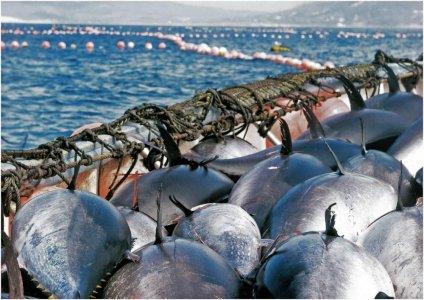 Традиционная ловля тунца