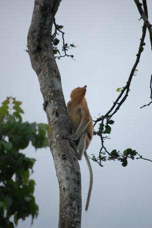 Сафари по реке к обезьяне носач и светлячкам