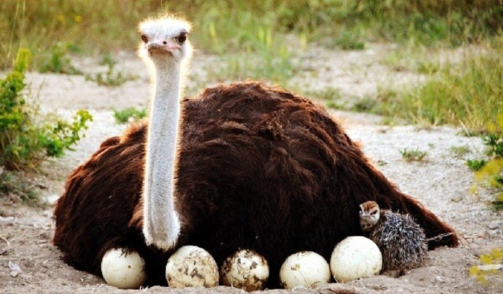 Изборск — Страусиная ферма  — «От ледникового периода к африканским страусам»