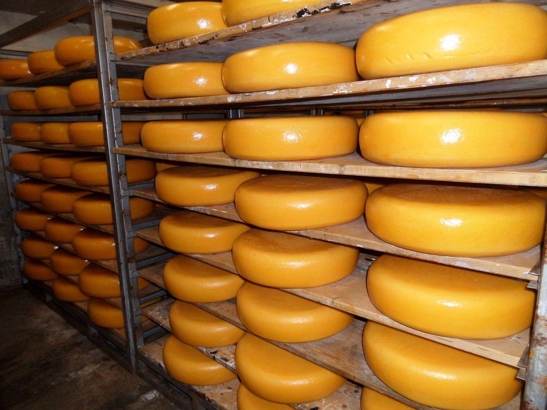 «Как сыр в масле». Мастер-класс по изготовлению голландского сыра на ферме