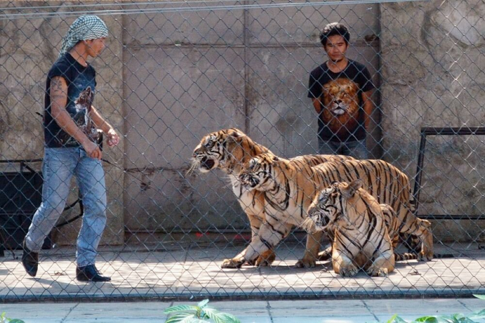 Тигровый зоопарк и аквариум на о. Самуи