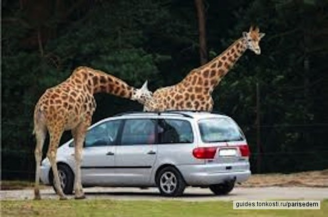 Сафари-парк. Рядом с машиной ходят звери