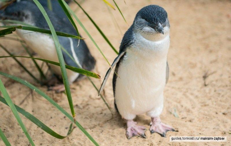 Путешествие на остров Филлипа — морские котики, коалы и Парад пингвинов