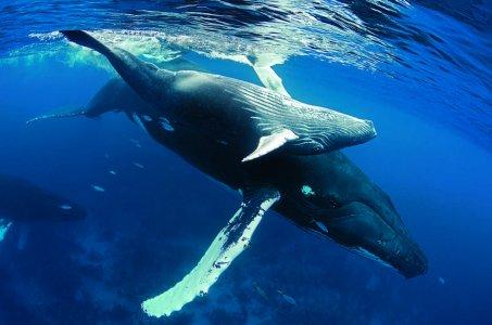 Горбатые киты в Доминикане!