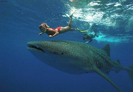 Плаваем с Китовыми Акулами