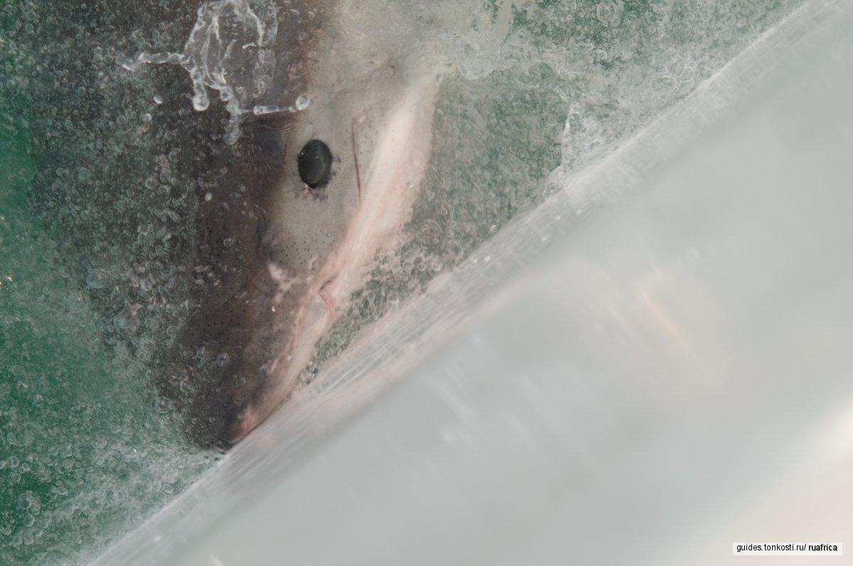 Ныряние с белыми акулами (сертификат не нужен)