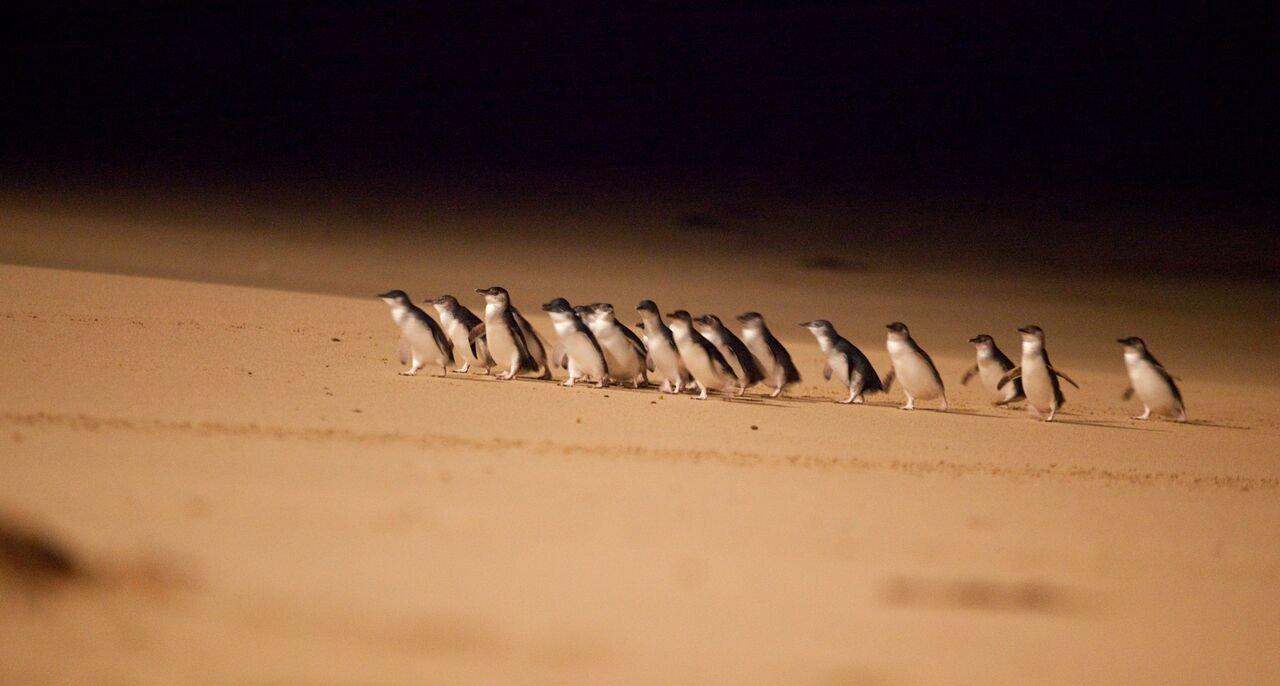 Парад пингвинов и Заповедник коал на острове Филлипа