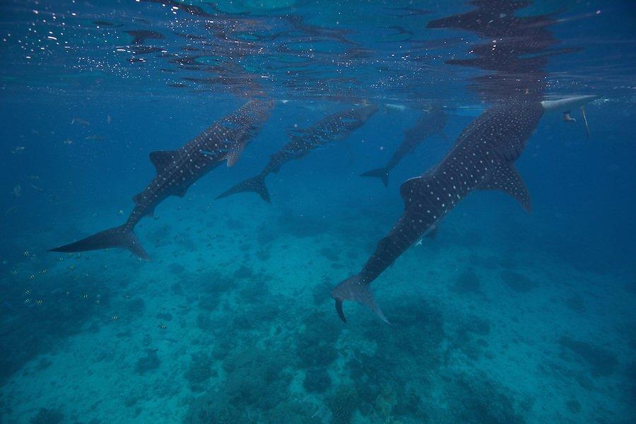 Китовые акулы и храм Симала / водопад Агинид