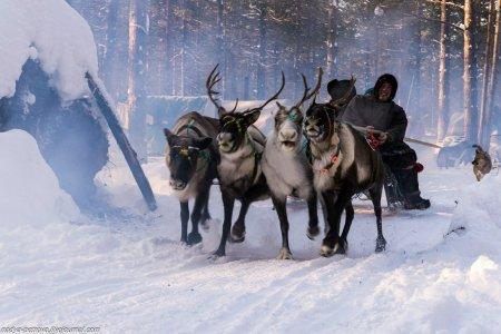 В гости к северным оленям
