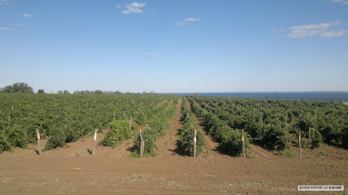История Донской виноградной лозы