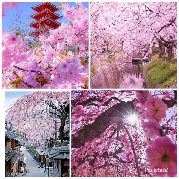 Цветение сакуры — что может быть прекрасней!