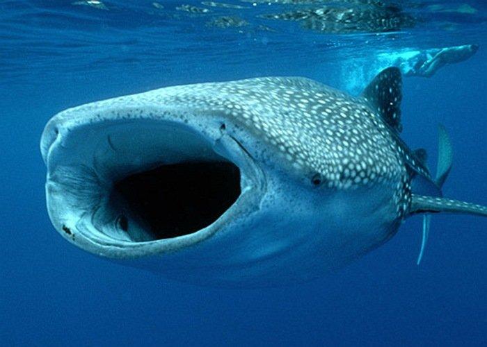 Плавание с китовыми акулами: с 01 июня по 15 сентября
