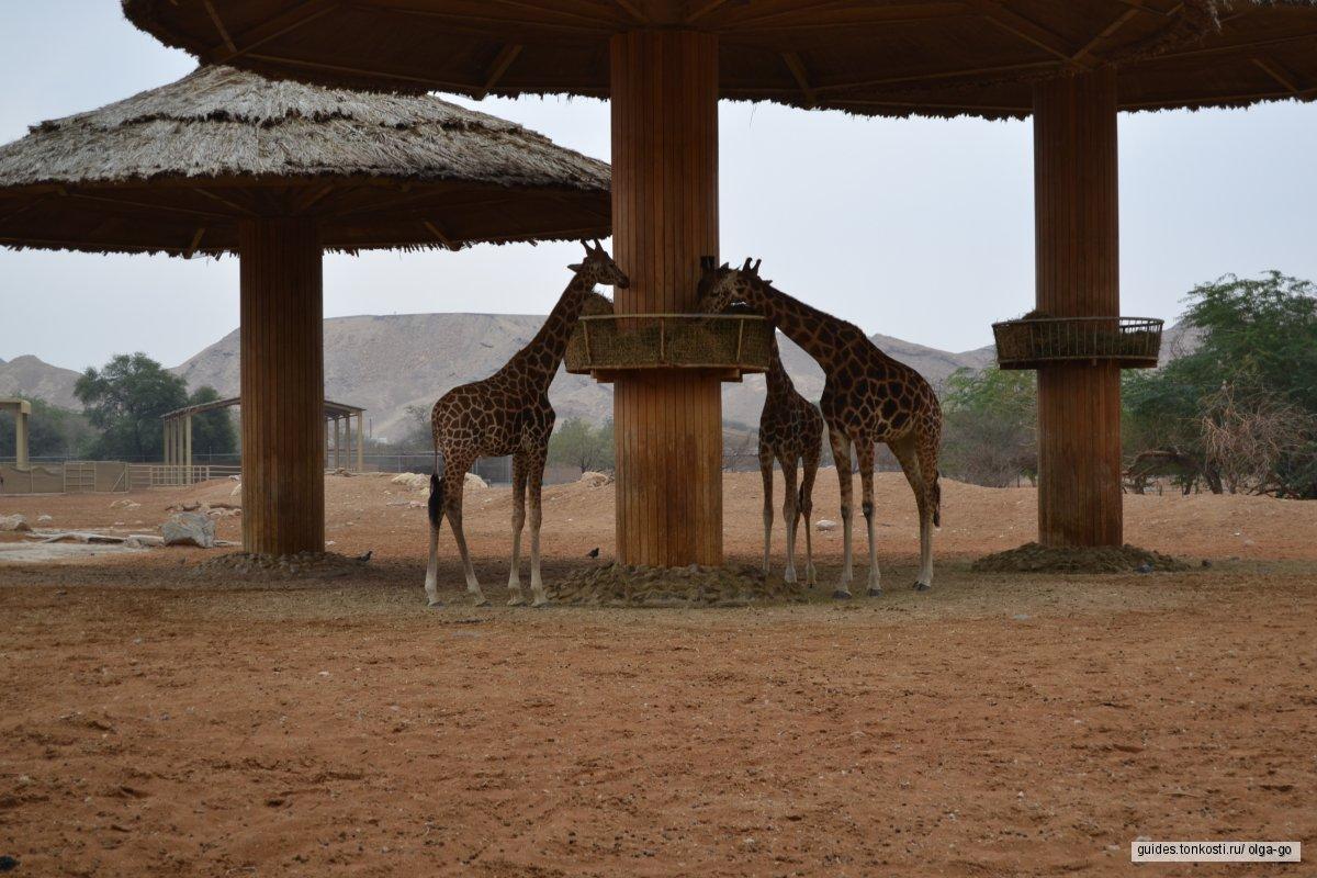 Крокодилы, бегемоты... Зоопарк в Аль-Айне