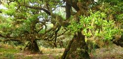 Лавровые леса на Тенерифе