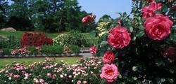 Сад роз в Берне