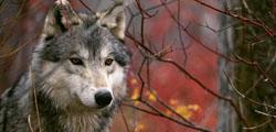 Музей волка